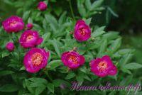 Пион травянистый 'Неон' /  Paeonia 'Neon'