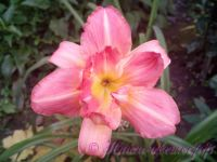 Лилейник 'Лонгфилдс Синк Пинк' / Hemerocallis 'Longfields Think Pink'