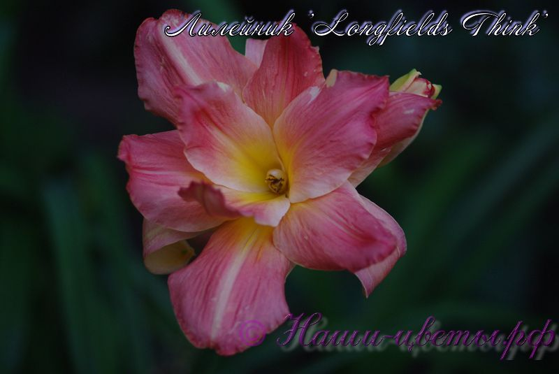 Лилейник 'Лонгфилдс Синк Пинк' / Hemerocallis 'Longfields Think Pink'