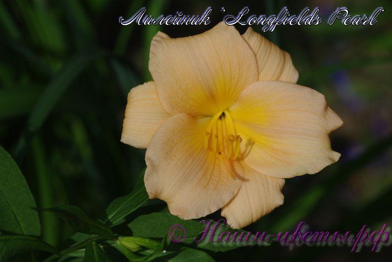 Лилейник 'Лонгфилдс Перл' / Hemerocallis 'Longfields Pearl'