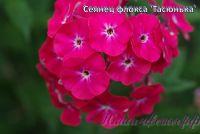Флокс 'Тасюнька' / Phlox 'Tasyunka'